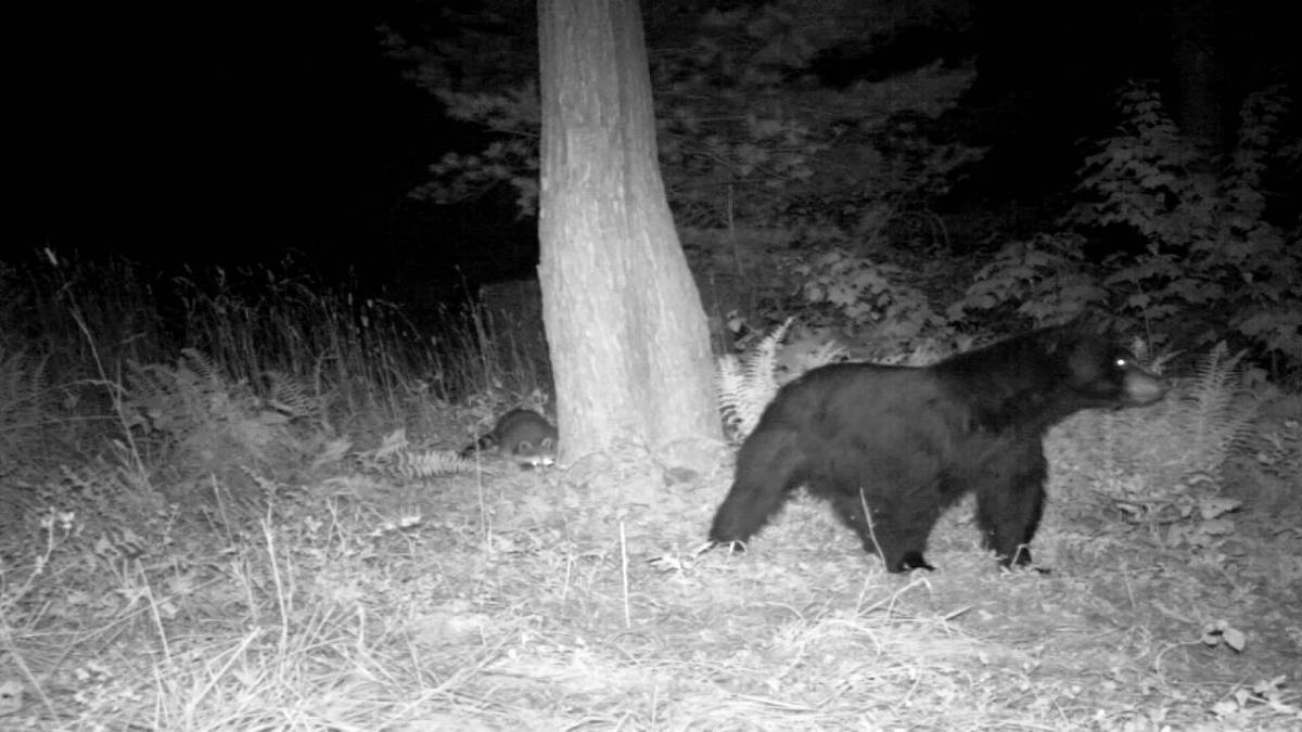 The Bear and Raccoon