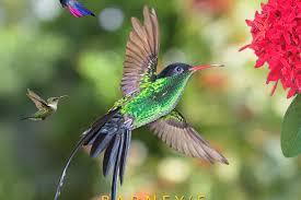 Hummingbirds and theSurgeon